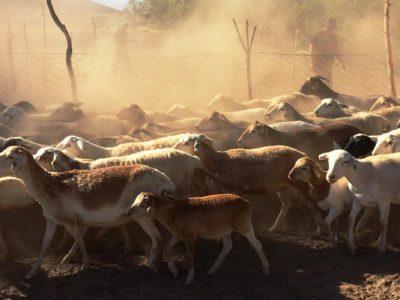 Pastoralists-West-Africa